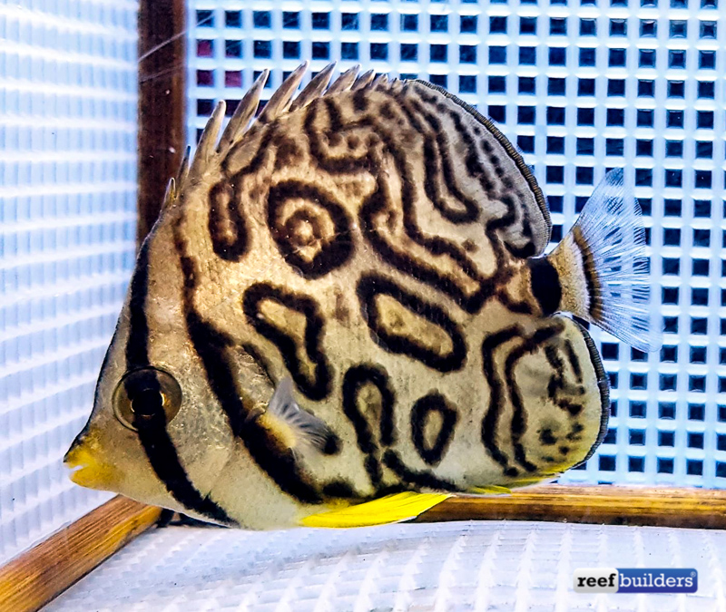eight-band-butterflyfish-aberrant-6.jpg