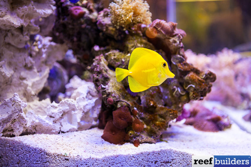 yellow-tang-in-situ.jpg