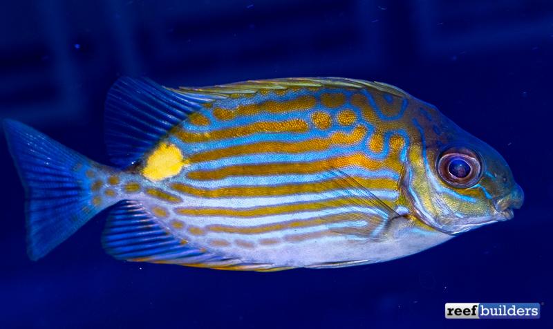 rabbitfish-biota-siganus-lineatus-1.jpg