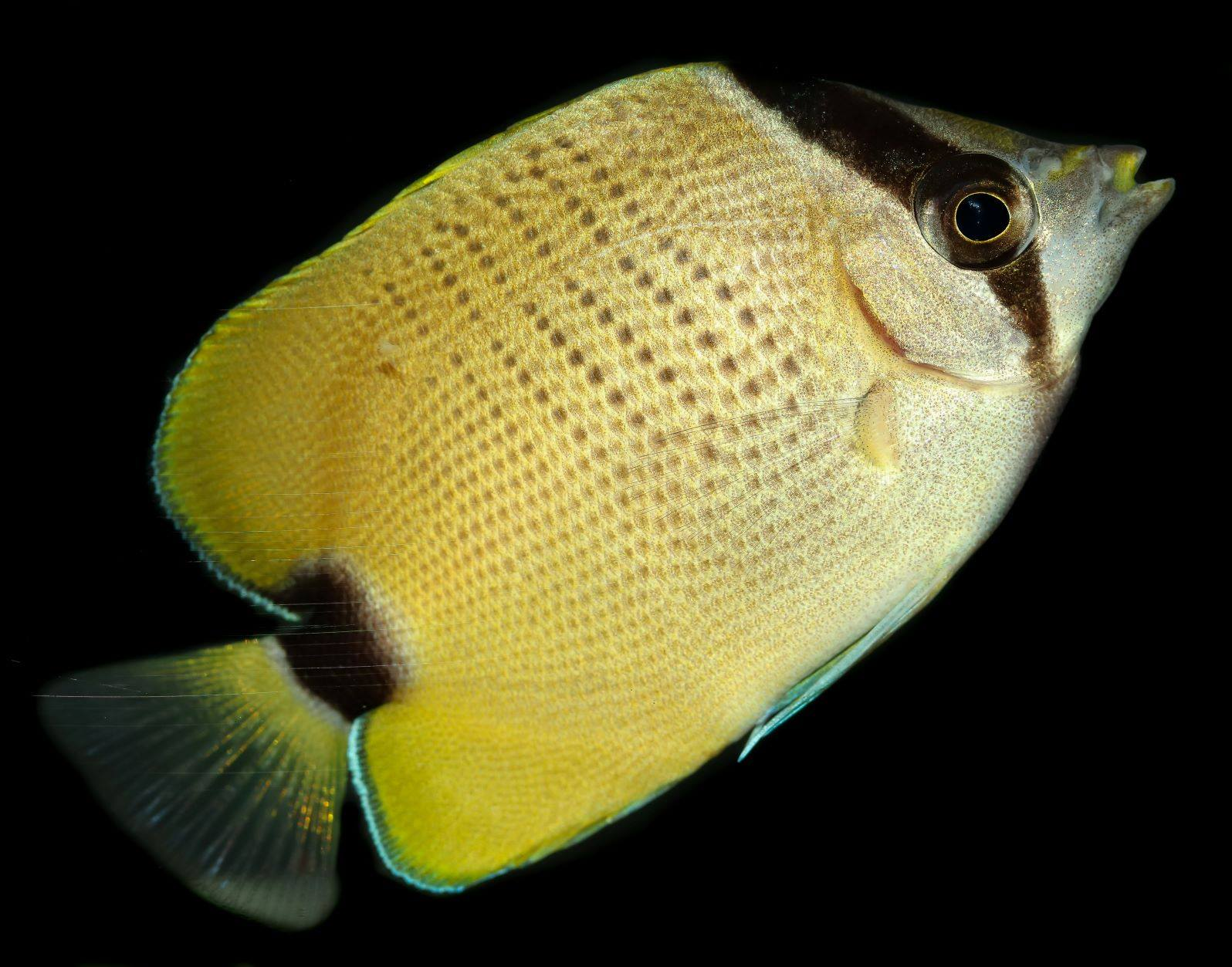 chaetodon-miliaris-biota-butterflyfish.j