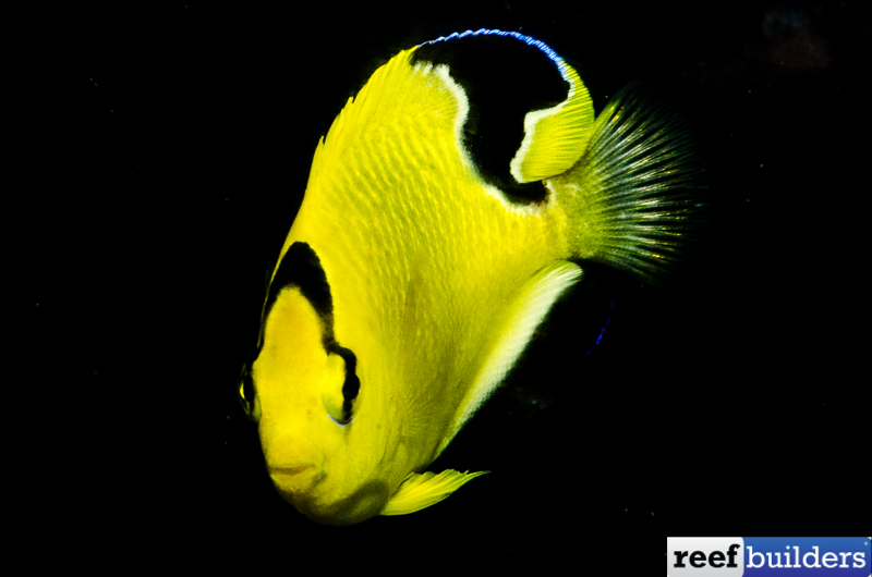 Apolemichthys-xanthopunctatus-8.jpg