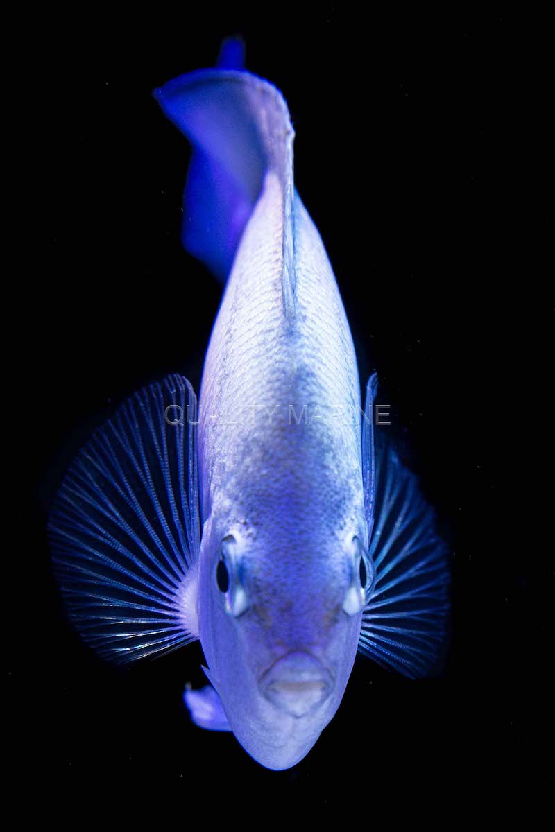 pitcairn-angelfish-female.jpg