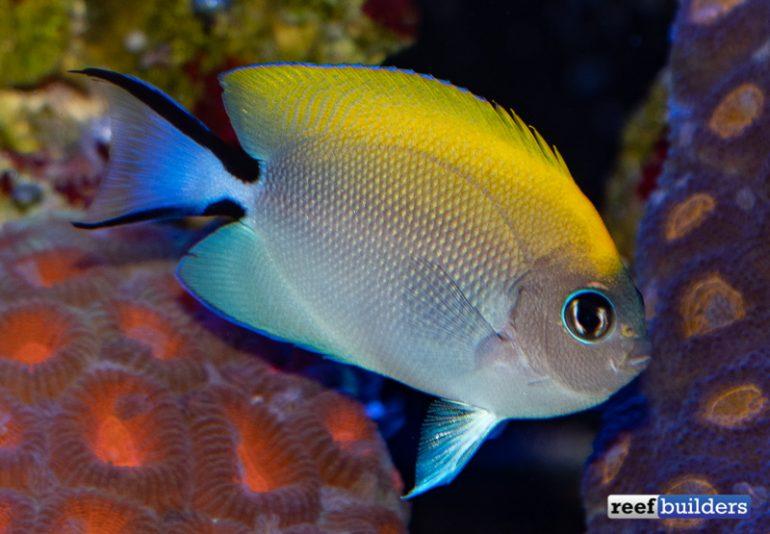 biota-swallowtail-angelfish-2-770x534.jp