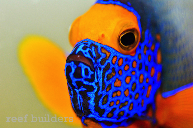 blueface-angelfish.png