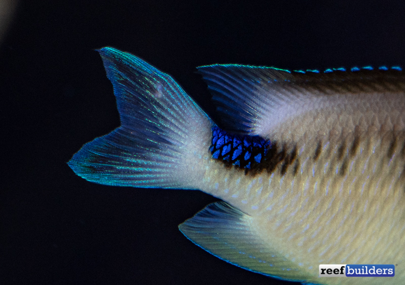 corazon-damselfish-1.jpg