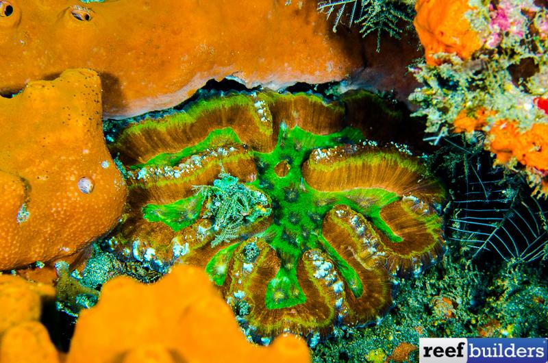 Symphyllia-Lobophyllia-rainbow-7.jpg