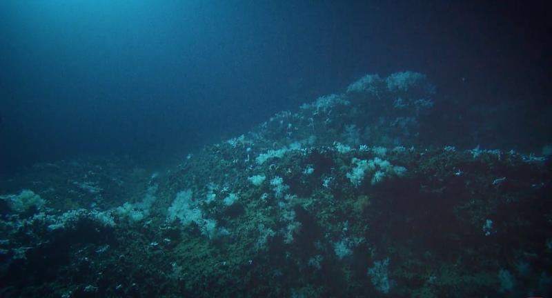 Deep-Sea-Corals-3.png