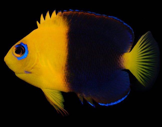 Joculator-Angelfish-Centropyge.jpg