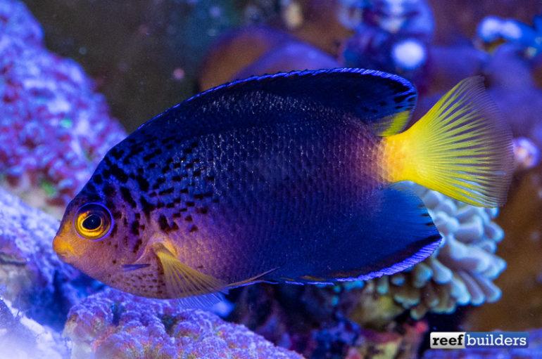 centropyge-debelius-angelfish-4-770x511.